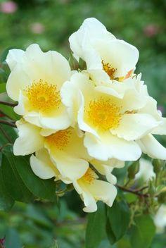 klimroos 'Mermaid' * (1918). Eén van de meest bloeiende en meest ziekteresistente klimrozen. Grote (12-13cm), enkele, wit-gele bloemen met zwavelgele meeldraden, die attractief blijven ook nadat de bloemen uitgebloeis zijn.  Bladhoudend, daardoor minder vorstbestendig en bij voorkeur op Zmuur.  Tot 9m.
