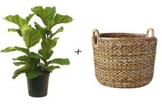 Indoor Gardening Quick, Clean Up, And Pesticide Free - Make Your Own House Plant Cheat Sheet: 10 Great Vessel and Plant Pairings Apartment Therapy Fiddle Leaf Fig Tree, House Plants Decor, Plant Decor, Unusual Plants, Container Gardening, Indoor Gardening, Plant Containers, Apartment Therapy, Apartment Ideas