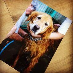 めぐの写真手に入れた👍 可愛すぎてかわいすぎてもうだいぶおばあちゃんの時の写真📷🐶💘これ私が撮ったやつ!!もうナイスすぎる!! ・ ずーっと、ずーっと! じょりーもめぐもじろうもみんなだいすき。😢もう1回逢いたいな👼🌠 ・ #愛犬#ゴールデンレトリーバー#犬#やっぱり#犬が好き#犬派#会いたい