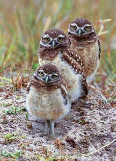 Burrowing Owls. Photo: Jack Rogers/Audubon Photography Awards.