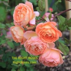 Princess Alexandra of Kent Rose Review   David Austin 2007 - The Right Roses Jude The Obscure, Garden Rose Bouquet, Best Roses, Small Shrubs, Shrub Roses, Princess Alexandra, David Austin Roses, Kinds Of Colors, English Roses