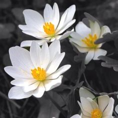 Blood Root - Bev Collins and I planted this in 1998...it's a beautiful reminder of my sweet friend who left us way too young...