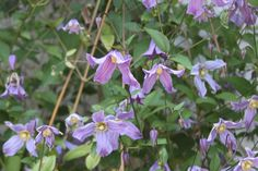 """Clematis """"Blue Bird"""" growing in Dave and Leslle's yard.  It's a pruning group """"a"""". http://plants.dutchgrowers.ca/11040002/Plant/3243/Blue_Bird_Clematis"""