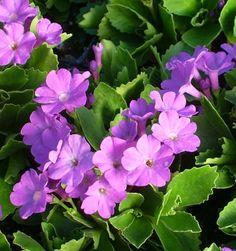 Show details for Primula marginata 'Dekker'