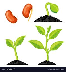 5 Worksheets Sprouting Seeds Plant growth stages from seed to sprout Royalty Free Vector √ Worksheets Sprouting Seeds . Life Cycle Of A Plant Booklet Free Can Make It Into A Sprouting Seeds, Planting Seeds, Preschool Learning Activities, Spring Activities, Kreative Jobs, Free Plants, Montessori Materials, School Decorations, Plant Illustration