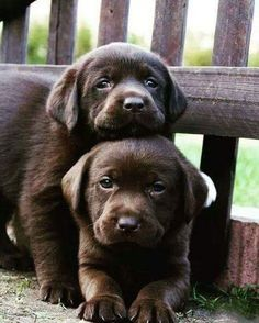 Mind Blowing Facts About Labrador Retrievers And Ideas. Amazing Facts About Labrador Retrievers And Ideas. Chocolate Lab Puppies, Chocolate Labrador Retriever, Labrador Retriever Dog, Chocolate Labs, Labrador Puppies, Rescue Puppies, Golden Retriever, Corgi Puppies, Cute Dogs And Puppies
