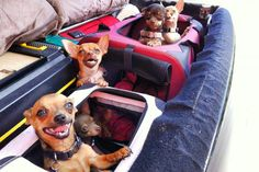 Lots of chi's in a raft Cute Chihuahua, Chihuahua Puppies, Cute Puppies, Cute Dogs, Teacup Chihuahua, Chihuahuas, Yorkies, Animals And Pets, Cute Animals