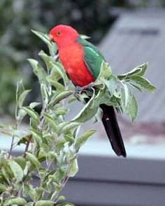 A male King Parrots sitting on top of our young apple tree.