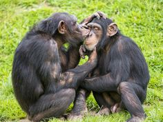 Success: Chimps to Be Retired From Lab and Sent to Sanctuary