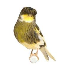 Is a Gloster Canary the Right Pet Bird for You?
