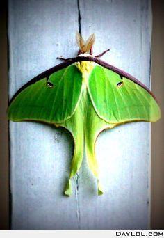 Luna Moth, my favorites.