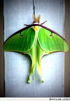 Luna Moth, my favorites.