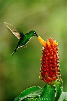 Green-crowned brilliant hummingbird, Heliodoxa jacula, feeding on ginger flower, Costus montanus, Monteverde Cloud Forest Reserve, Costa Rica