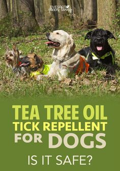 Try this natural pest control Tea Tree Oil Dog Spray Recipe for Fleas and Ticks and keep the bugs at bay for your furry friends! Flea Spray For Dogs, Flea And Tick Spray, Essential Oils For Fleas, Tea Tree Essential Oil, Tea Tree Oil Dogs, Tick Repellent For Dogs, Dog Flea Remedies, Ticks On Dogs, Oils For Dogs