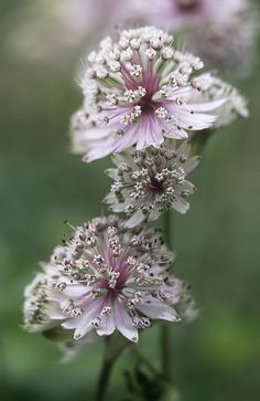 Great Masterwort (astrantia Major). grows best in cool climates. Light:Part Sun Zones:5-7 Plant Type:Perennial Plant Height:24-36 inches tall Plant Width:12-18 inches wide Landscape Uses:Containers,Beds & Borders Special Features:Flowers,Cut Flowers,Dried Flowers