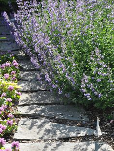 A flagstone pathway leads you through the plantings in the terraced area of the garden.   On one side of the path is Blue Catmint, Nepeta racemosa 'Walker's Low', and on the other side with pink flowers is Lamium a versatile sun, part-shade or full shade groundcove