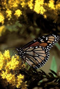 The number of Monarch butterflies migrating into Texas is at an all-time low. If you have a garden, consider putting a few milkweed plants in to help them out.