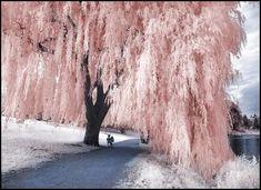 Pink_Tree_II_____by_MichiLauke