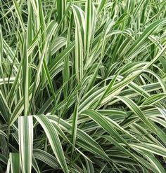 Ornamental Ribbon grass, hardy, not fussy about growing conditions, will grow in poor soil, and low light conditions. Can be invasive if conditions are optimal. One solution is to plant them in pots, and plant the pots in the ground to contain spread.