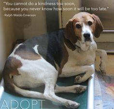 ameatfreemonth.org #animalrights #animalwelfare #vegan #veganism #inspiration #quote #health #animals #dog #dogs #adopt #adoption #pets #beagle