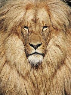 Katanga Lion (375x500, 180Kb)