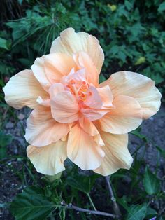 Pale orange hibiscus.