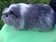 Silver Agouti combined with crested guinea pig.