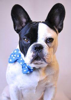 Bouledogue Français avec nœud papillon, French Bulldog in a Bow Tie