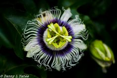 L1M2AP3 - Canon 400d - 50 mm lens -  ISO 200 - F1.8 - 1/1600 sec - early afternoon - cloudy day - hand held - passion-fruit flower - twicked in Lightroom - 27/02/15