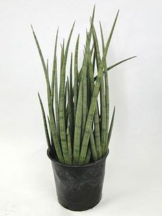 done through leaf cuttings or division. We've got a lot more information on how to do it in our article on snake plant propagation Sansevieria Cylindrica, Snake Plant Propagation, Plant Cuttings, Full Sun Container Plants, Container Gardening, Snake Plant Care, House Plants For Sale, Lipstick Plant, Air Cleaning Plants
