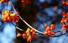 Bittersweet Vines – Learn About American Bittersweet Plant Care Plants Under Trees, Outside Plants, Trees And Shrubs, Small Trees, Bittersweet Plant, Low Growing Shrubs, Invasive Plants, Hydroponic Gardening, Organic Gardening