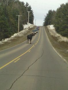 Maine traffic jam.  Downeast magazine.  One must never, ever hit a moose with their vehicle!