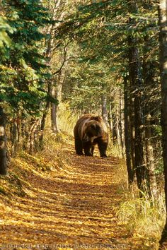 Excuse me - you can have this tree tunnel - I'll go find me another one - FAST!   grizzly bear