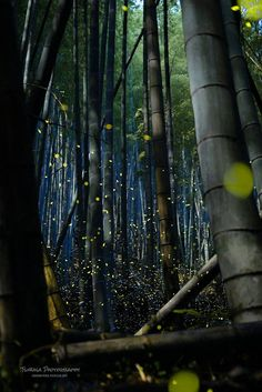 Fireflies and bamboo forest in Japan