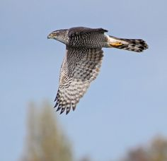 Wild Goshawk in Flight