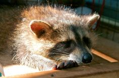 Rideau Valley Wildlife Sanctuary - Racoon
