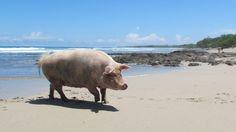 Playa Avellanas, Costa Rica. And Lola the PIg.