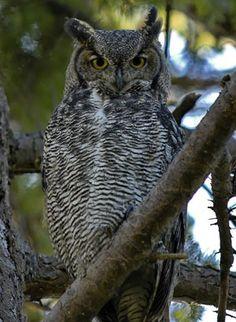 Google Image Result for http://aviary.owls.com/uploads/images/great_horned_owl-Bubo_virginianus.jpg