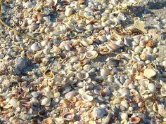 Shells on Casey Key public beach, Nokomis, Florida  photo by Dawn E Scire