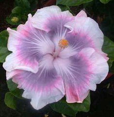 tahitian princess hibiscus