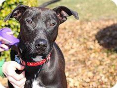 Wylie, TX - Vizsla/Labrador Retriever Mix. Meet Kara, a dog for adoption. http://www.adoptapet.com/pet/10067490-wylie-texas-vizsla-mix