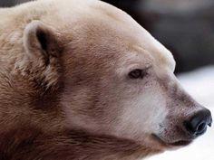 Grolar Bear (Grizzly + Polar Bear)