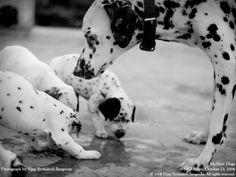 Mom and her children! Dalmatian Dog #Dalmatians #petsloversclub