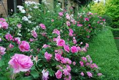 Earth song rose