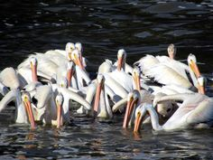 Unlike the brown pelican which dives for food, American white pelicans hunt as a group while swimming. These birds seen on the Red River at Lockport, Manitoba, Canada, migrate south in winter. Red River, Diving, Road Trip, Swimming, Canada, Birds, Group, American, Winter