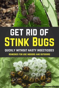 Natural stink bug home remedies