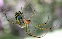 Beautiful Leucauge or Orchard Spider - What's That Bug?