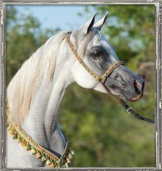 Grey Egyptian Arabian mare Pimlicos Lady RCA. Arabians Ltd in Waco, Texas.