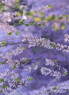 Love Mother Earth and all of Nature. Purple Love, All Things Purple, Purple Lilac, Shades Of Purple, Periwinkle, Lilac Color, Colour, Mother Earth, Gardens