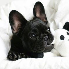 Chiot bouledogue français / French Bulldog puppy - 12 Reasons Why You Should Never Own French Bulldogs Cute Puppies, Cute Dogs, Dogs And Puppies, Doggies, Terrier Puppies, Corgi Puppies, Corgi Husky, Newborn Puppies, Dogs Pitbull